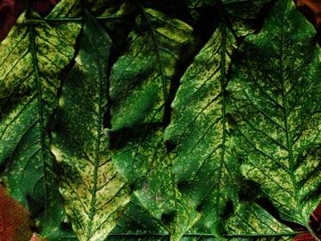 Leaves (0149)